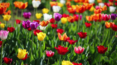 Field of blooming different color tulips Stock Footage