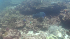 Eastern blue grouper swimming, Achoerodus viridis, HD, UP20318 Stock Footage