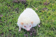 white hedgehog. - stock photo