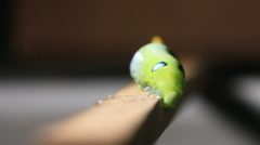 Caterpillar walking on wood stick. - stock footage
