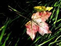 Variegated Fallen Crimson Maple Leaf Stock Photos