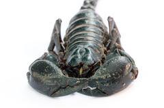 Black emperor scorpion Stock Photos