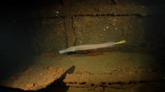 Trumpetfish swimming on wreckage, Aulostomus chinensis, HD, UP20416 Stock Footage