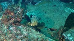 Malabar grouper swimming, Epinephelus malabaricus, HD, UP20419 Stock Footage