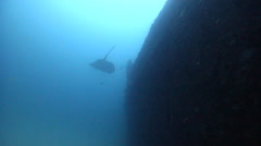 Black-blotched stingray swimming on wreckage, Taeniura meyeni, HD, UP20448 Stock Footage