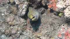 Abbotts moray eel gaping on wreckage, Gymnothorax eurostus, HD, UP20467 Stock Footage