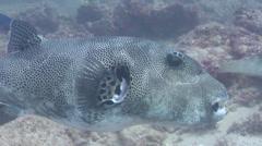 Star pufferfish hovering, Arothron stellatus, HD, UP20485 Stock Footage