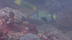 Halfmoon picasso triggerfish feeding, Rhinecanthus lunula, HD, UP20492 Stock Footage
