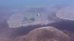 Halfmoon picasso triggerfish swimming, Rhinecanthus lunula, HD, UP20493 Stock Footage