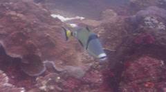 Halfmoon picasso triggerfish swimming, Rhinecanthus lunula, HD, UP20494 Stock Footage