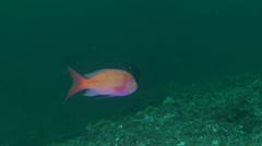 Male adult Striped anthias swimming, Pseudanthias fasciatus, HD, UP20501 Stock Footage