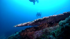 Longlegged spiny lobster on coral bommie, Panulirus longipes, HD, UP20526 Stock Footage