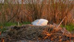 White mute swan in the nest in the evening, sunset, calm atmoshere Stock Footage