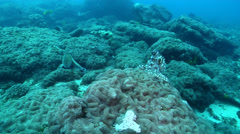 Common reef octopus walking, Octopus cyanea, HD, UP20531 Stock Footage