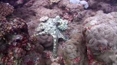 Common reef octopus, Octopus cyanea, HD, UP20537 Stock Footage