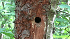 Greater Spotted Woodpecker Nest - stock footage