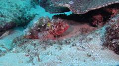 Red scorpionfish, Scorpaena cardinalis, HD, UP20582 Stock Footage