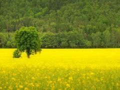 Abandoned tree in spring yellow field of blooming rapes, the hill on horizon. - stock photo