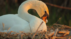 White mute swan in the nest in the evening, sunset, tidying - stock footage