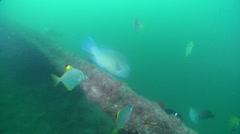 Blackspot tuskfish swimming, Choerodon schoenleinii, HD, UP20610 Stock Footage
