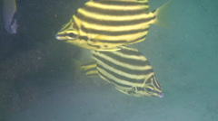Stripey swimming and schooling, Microcanthus strigatus, HD, UP20612 Stock Footage