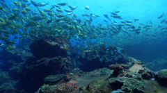 Diamondfish swimming and schooling on rocky reef, Monodactylus argenteus, HD, Stock Footage
