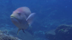 Golden-spot hogfish swimming, Bodianus perditio, HD, UP20617 Stock Footage