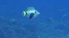 Halfmoon picasso triggerfish swimming, Rhinecanthus lunula, HD, UP20621 Stock Footage