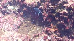 Whiteband damsel swimming, Plectroglyphidodon leucozonus, HD, UP20622 Stock Footage