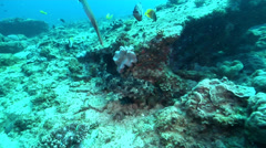 Ornate wobbegong shark swimming, Orectolobus ornatus, HD, UP20717 Stock Footage