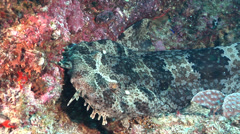 Ornate wobbegong shark, Orectolobus ornatus, HD, UP20718 - stock footage