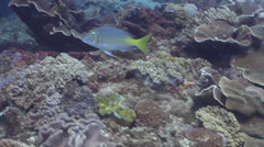 Pacific yellowtail emperor swimming, Lethrinus atkinsoni, HD, UP20720 Stock Footage