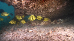 Stripey swimming and schooling, Microcanthus strigatus, HD, UP20753 Stock Footage