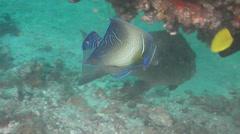 Intermediate Semicircle angelfish swimming, Pomacanthus semicirculatus, HD, Stock Footage