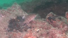 Jamesons seaperch, Hypoplectrodes jamesoni, HD, UP20765 Stock Footage