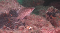 Jamesons seaperch, Hypoplectrodes jamesoni, HD, UP20766 Stock Footage