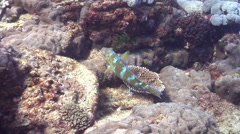 Bluebarred parrotfish swimming, Scarus ghobban, HD, UP20781 Stock Footage