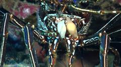Longlegged spiny lobster, Panulirus longipes, HD, UP20782 Stock Footage