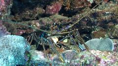 Longlegged spiny lobster, Panulirus longipes, HD, UP20783 Stock Footage
