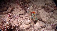 False stonefish swimming at night, Scorpaenopsis diabolus, HD, UP20801 Stock Footage