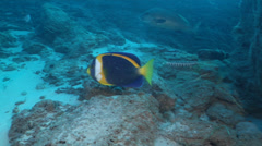 Scribbled angelfish swimming, Chaetodontoplus duboulayi, HD, UP20804 Stock Footage