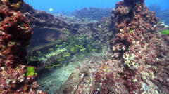 Eastern pomfred hovering and schooling, Schuettea scalaripinnis, HD, UP20824 Stock Footage