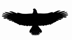 Eagle inciting wing fly gliding,haliaeetus leucocephalus bird sketch silhouette Stock Footage