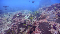 Eastern pomfred swimming on rocky reef, Schuettea scalaripinnis, HD, UP20838 Stock Footage