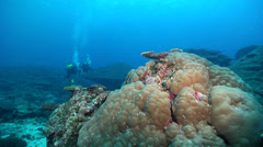 Ocean scenery distant divers approach porites coral bommie, on shallow coral Stock Footage