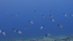 Whitley's sergeant feeding and schooling on shallow coral reef, Abudefduf Stock Footage