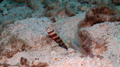 Gorgeous shrimpgoby housekeeping, Amblyeleotris wheeleri, HD, UP21022 Stock Footage