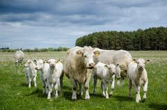 Cows on the go - herd of charolais cattle with a lot of calves in a pastureland - stock photo