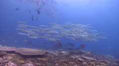 Pickhandle barracuda swimming and schooling, Sphyraena jello, HD, UP21070 Stock Footage