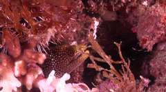 Abbotts moray eel breathing, Gymnothorax eurostus, HD, UP21085 Stock Footage